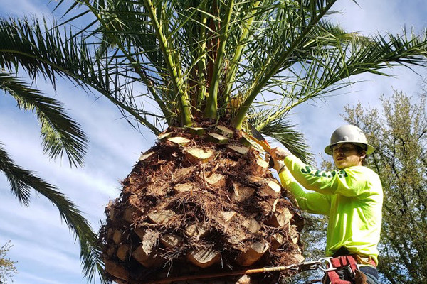 palm tree trimming tucson